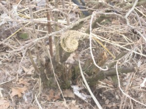 Fiddlehead shape of a dried ornamental grass.