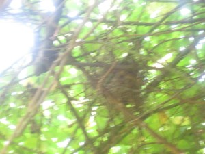 Cardinal nest in the rose bower