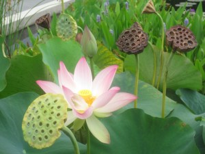 The NYBG waterlily and lotus ponds are lovely at this time of year.