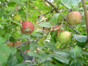 Apples awaiting