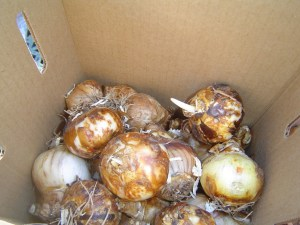 A batch of freshly delivered bulbs