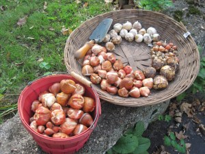 Some of the bulbs to plant