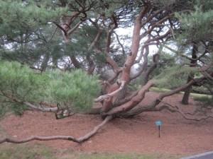 Tree NYBG 2