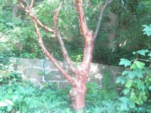 Tree Lulu