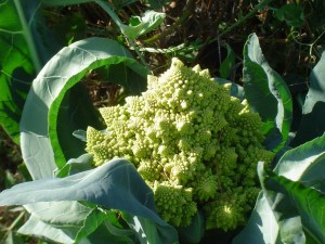 Romano cauliflower