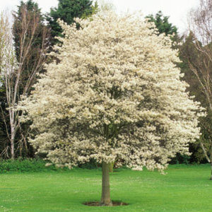 AMELANCHIER---trees-for-the-garden-medium_new