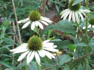 Echinacea - Fibonacci patterns again!