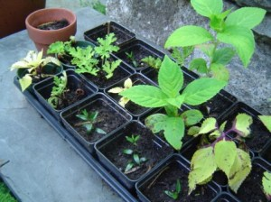Root cuttings of hydrangea, myrtles and scented geraniums