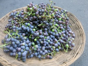 Concord grape harvest. Go ahead, eat it straight from the vine - its organic!