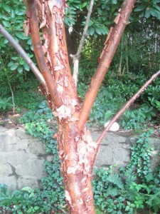 Love the peeling bark. It positively glows in sunlight.