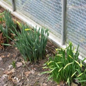 Daffodils by the greenhouse.