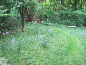 The meadow with camassias in bloom