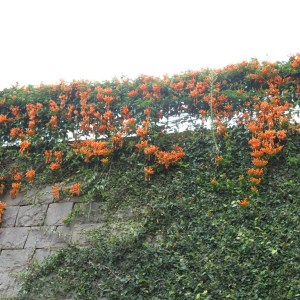 Trumpet vine on a wall - Nilgris, India
