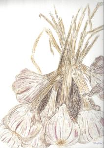 Garlic - watercolor