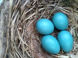 Robin eggs 5.23.14