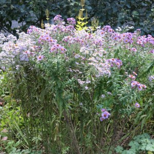 Asters are a huge honey-bee magnets.