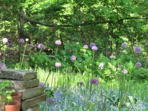 An explosion of alliums