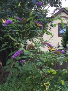 How many tiger swallowtails can you count?!