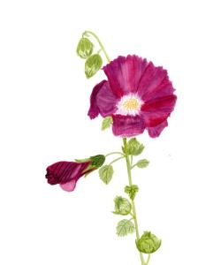 A watercolor of Hollyhock