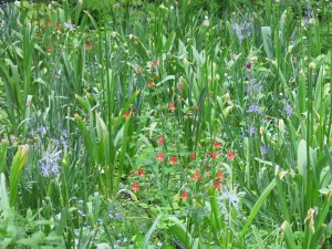 In the meadow, columbines sway.