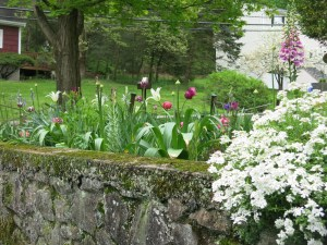 Tulips and candytuft at play