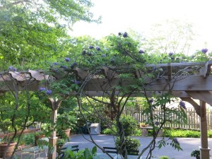 Native wisteria
