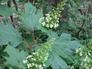 Oak-leaf hydrangea beginning to bloom