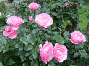 Bonica roses - a gift from Henriette Suhr many years ago