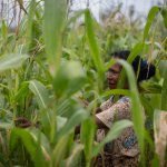 Domingas Dejues stands amongst her Sele maize crop