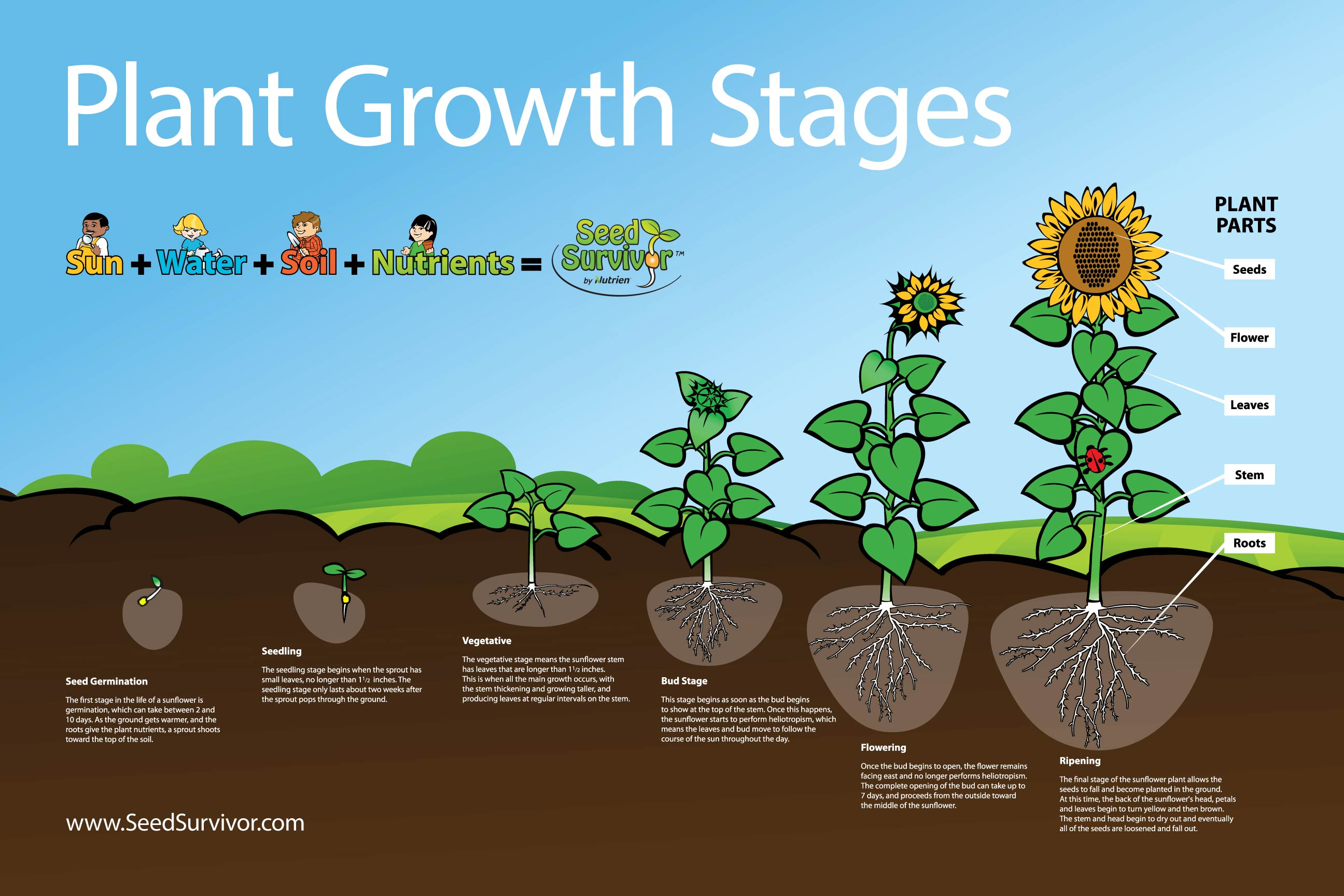 Diagram Showing The Stages Of Seed Germination And Seedling