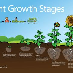 Sunflower Plant Life Cycle Diagram Mercedes Benz Headlight Wiring Posters Seed Survivor