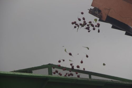After moving through the mechanical harvester, radishes are propelled into a side cart.
