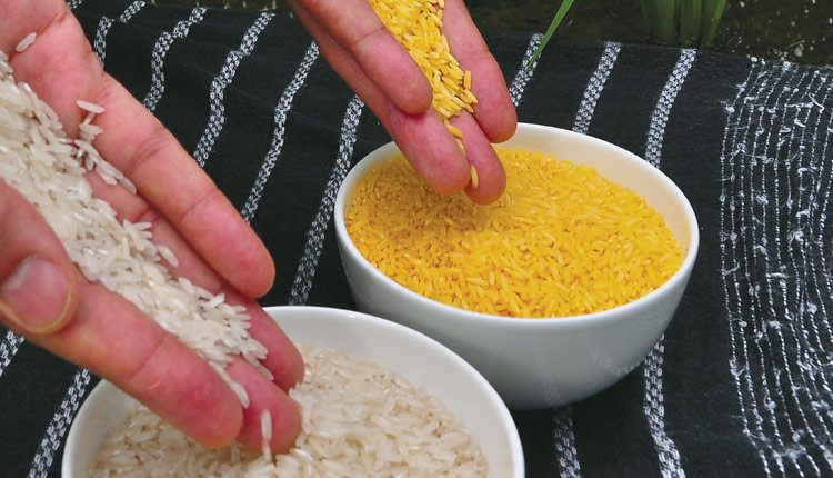 Golden Rice is biofortified with beta-carotene, which can help prevent blindness and death in children in the developing world. Photo: irri.
