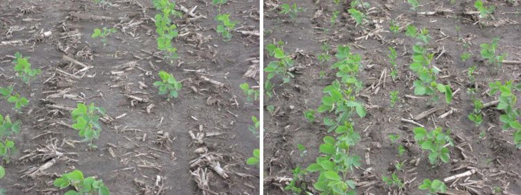 Figure 2. An initial soybean stand of 37,000 plants a-1 that was not filled in (left) and filled in with 100,000 seeds a-1 (right).