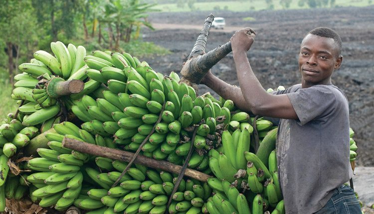 The banana is a staple crop in Uganda, and biotech makes biofortification possible.