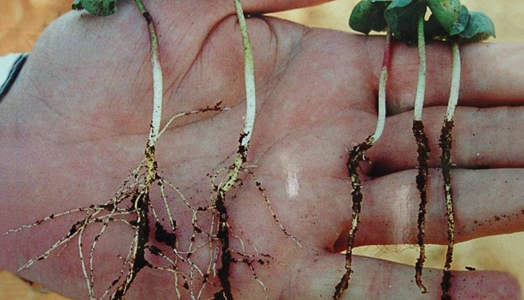 Early season nutrition makes a difference in root development of these cotton seedlings. Photo: Vivid Life Sciences.