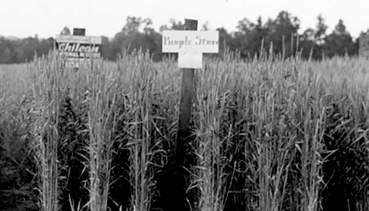 Purple Straw wheat is shown being grown on a farm in Salisbury, North Carolina, in 1939. Photo courtesy NCSU Libraries Digital Collections
