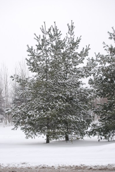 Snow Dusted Tree
