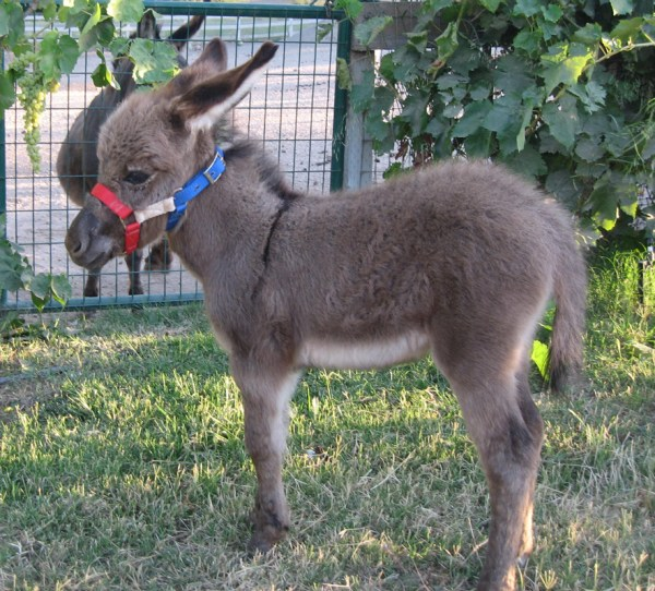 Miniature Donkey Rescue Nc - Year of Clean Water