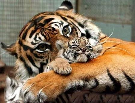 tiger mum book of