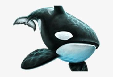 Killer Whale Png Transparent Images Killer Whale PNG Image Transparent PNG Free Download on SeekPNG