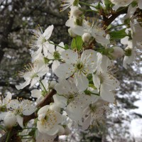Spring Blossoms - One
