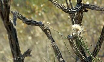 Cholla cactus skeleton and desert wildflowers