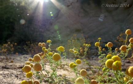 Desert Trix Wildflowers