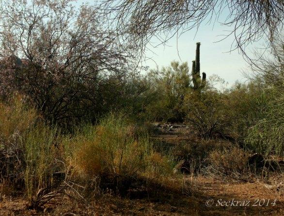 Saguaro Cactus framed in brush