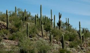 saguaro cacti collective