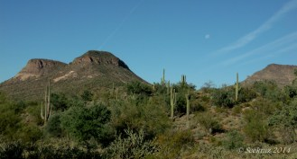 saguaro cacti in sonora desert with moonset