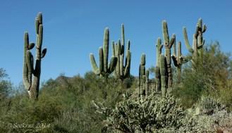 saguaro cacti large collective