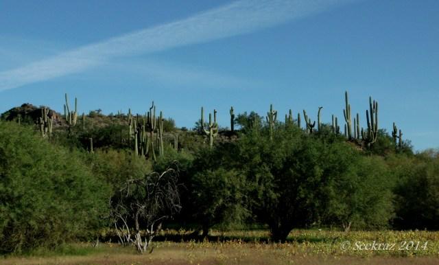 saguaro cacti on hilltop