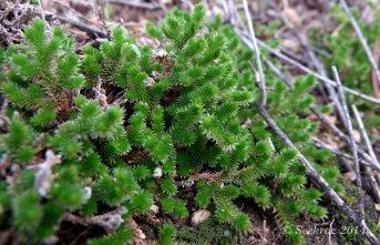 moss from the desert hills
